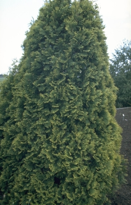 Westerse levensboom - Thuja occidentalis 'Sunkist'