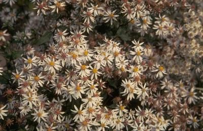 Heesterroos - Rosa moyesii