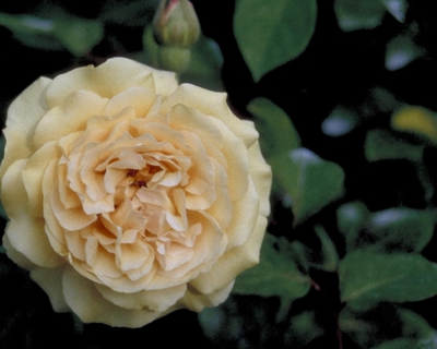 Leiroos - Rosa 'Buff Beauty'