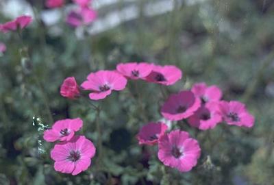 Ooievaarsbek - Geranium cinereum var. subcaulescens