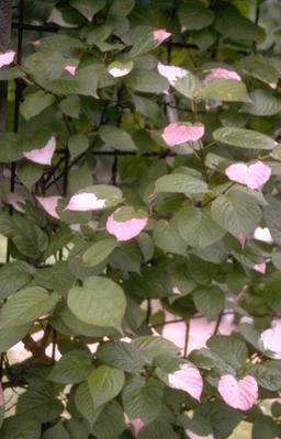 Straalstempel - Actinidia kolomikta Sierkiwi