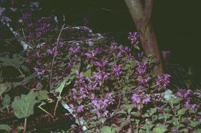 Gevlekte dovenetel - Lamium maculatum 'Chequers'