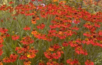Zonnekruid - Helenium 'Moerheim Beauty'