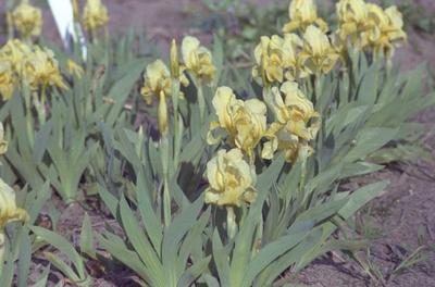 Iris 'Aurea'