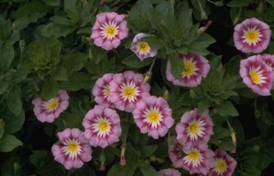 Dagschone - Convolvulus tricolor 'Rose Ensign'