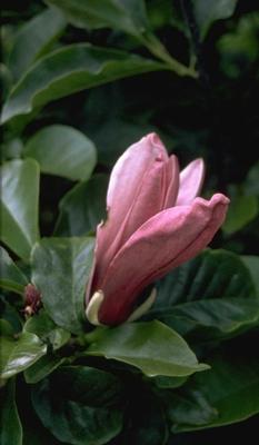 Leliemagnolia - Magnolia liliiflora 'Nigra'