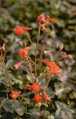 Ridderspoor - Delphinium nudicaule