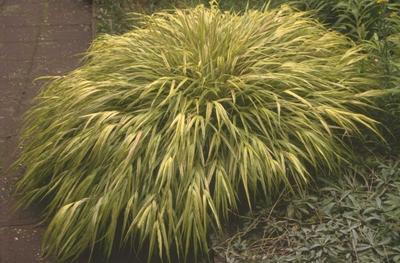 Japans siergras - Hakonechloa macra 'Aureola'