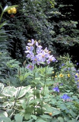 Meconopsis betonicifolia 'Lila'
