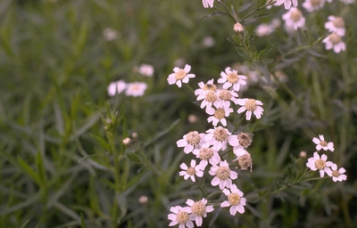 Wilde bertram - Achillea ptarmica