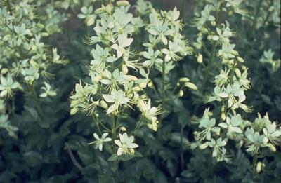Vuurwerkplant - Dictamnus albus 'Albiflorus'