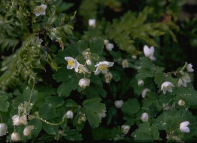 Alpenleverbalsem -  Erinus alpinus