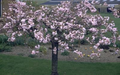 Cheal's treurkers - Prunus serrulata 'Kiku-shidare-zakura'