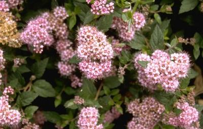 Struikspirea - Spiraea japonica 'Little Princess'