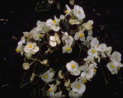 Scheefblad - Begonia semperflorens 'Wit'