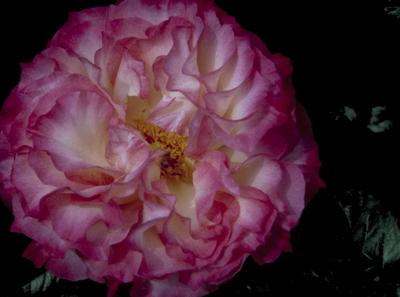 Grootbloemige roos - Rosa 'Colbert'
