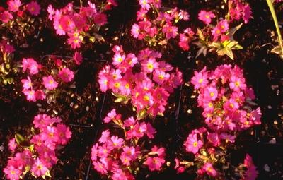 Sleutelbloem - Primula rosea 'Grandiflora'
