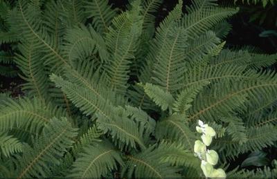 Zachte naaldvaren - Polystichum setiferum 'Proliferum'