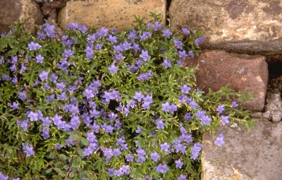 Steenzaad - Lithodora diffusa 'Heavenly Blue'