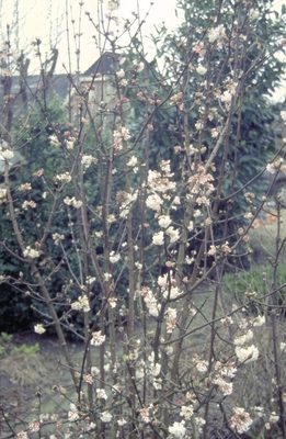 Sneeuwbal - Viburnum x bodnantense 'Dawn'