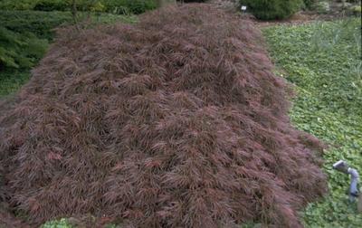 Japanse Esdoorn - Acer palmatum 'Ornatum'