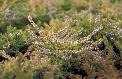 Struikhei - Calluna vulgaris 'Boskoop'