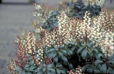 Rotsheide - Pieris japonica 'Bonfire'