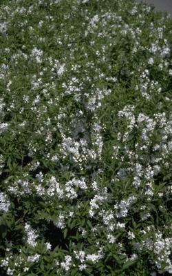 Slanke Deutzia - Deutzia gracilis