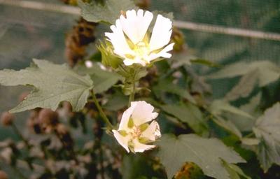 Kitaibela vitifolia
