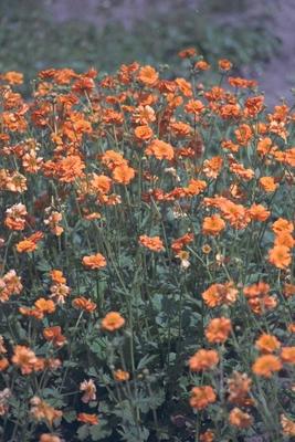 Nagelkruid - Geum chiloense 'Dolly North'