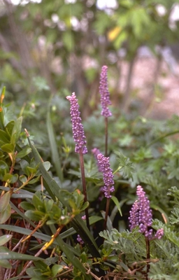Leliegras - Liriope muscari 'Majestic'