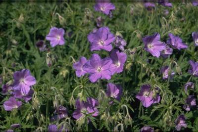 Ooievaarsbek - Geranium 'Spinners'
