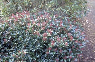 Skimmia japonica 'Codrie's Dwarf'