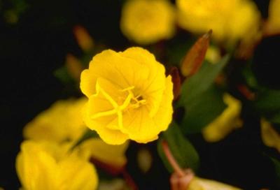 Teunisbloem - Oenothera fruticosa 'Golden Sunlight'