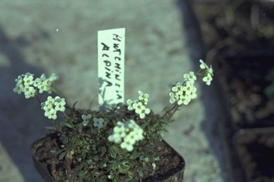 GemskersHutchinsia alpina