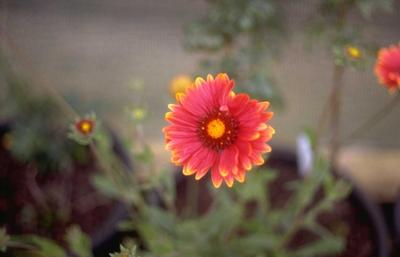 Kokardenbloem - Gaillardia 'Burgunder'