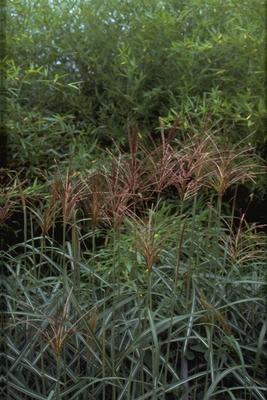 Prachtriet - Miscanthus sinensis 'Malepartus'