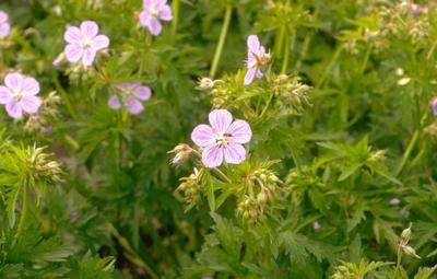 Ooievaarsbek - Geranium pratense 'Mrs Kendall Clark'