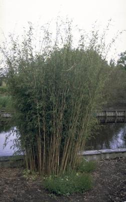 Bamboe - Fargesia nitida 'Nymphenburg'