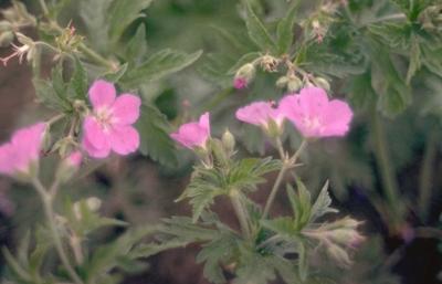 Ooievaarsbek - Geranium x oxonianum 'Claridge Druce'