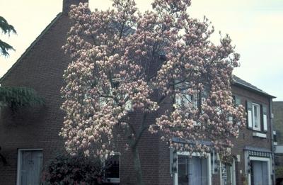 Gewone magnolia - Magnolia x soulangeana