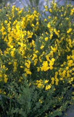 Brem - Cytisus x praecox 'Gold Speer'