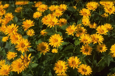 Zonneoog - Heliopsis helianthoides 'Patula'