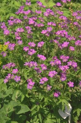Ooievaarsbek - Geranium sylvaticum 'Birch Lilac'