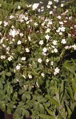 Witte boterbloem - Ranunculus aconitifolius