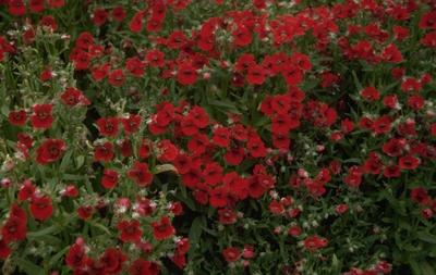 Nemesia - Nemesia strumosa 'Triumph Red'
