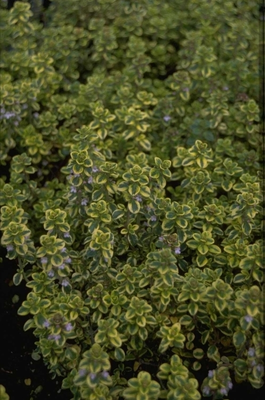 Citroentijm - Thymus x citriodorus 'Villa Nova'