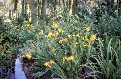 Montbretia - Crocosmia 'George Davidson'