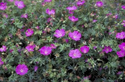 Bloedooievaarsbek - Geranium sanguineum 'Sheppard's Warning'