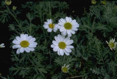 Schubkamille - Anthemis punctata subsp. cupaniana